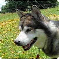 Adopt A Pet :: Shiloh - Bryan, TX