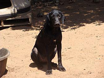 Labrador Retriever/Hound (Unknown Type) Mix Dog for adoption in Blanchard, Oklahoma - Jonny Cash
