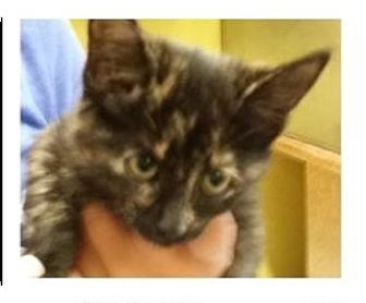 Domestic Shorthair Kitten for adoption in Red Bluff, California - OPIE