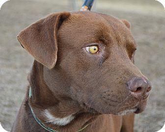 Labrador Retriever Mix Dog for adoption in Allen town, Pennsylvania - Blue