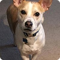 Adopt A Pet :: Stitch - Cranford, NJ