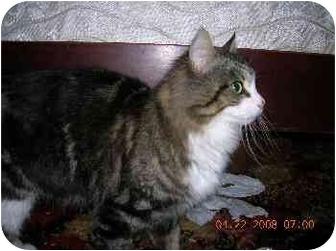 Domestic Mediumhair Cat for adoption in Union, South Carolina - Mimi