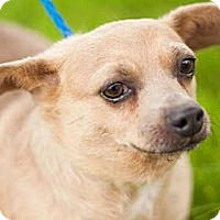 Chihuahua Mix Dog for adoption in Fresno, California - Fowler's Ice Cream
