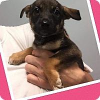 Adopt A Pet :: Shiraz - Scottsdale, AZ