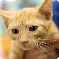 Domestic Shorthair Cat for adoption in Harrisonburg, Virginia - Tiger