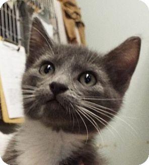 Domestic Shorthair Kitten for adoption in Grants Pass, Oregon - Sonny