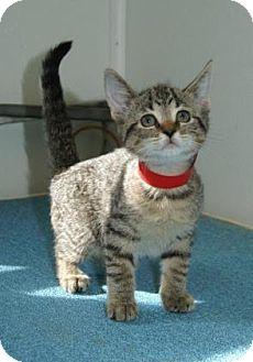 Domestic Shorthair Kitten for adoption in Englewood, Florida - Presto