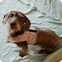 Adopt A Pet :: MACARONI - Portland, OR
