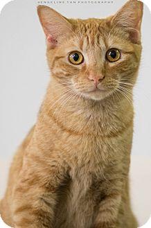 Domestic Shorthair Cat for adoption in Houston, Texas - RAYNE