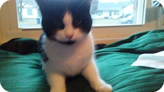 Domestic Shorthair Cat for adoption in Columbus, Ohio - Sierra