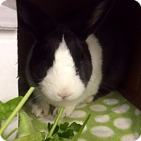 Adopt A Pet :: Chloe - Whitehall, PA
