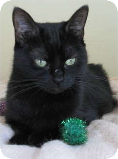 Domestic Shorthair Cat for adoption in Roseville, Minnesota - Kiki