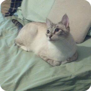 Siamese Cat for adoption in Fairborn, Ohio - Lynxie