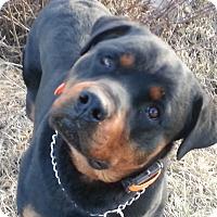Adopt A Pet :: Modoc - Gilbert, AZ