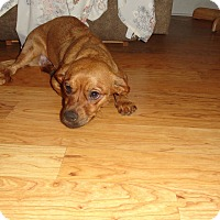 Adopt A Pet :: CINNAMON - Loveland, CO