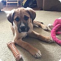 Adopt A Pet :: Bo - Lancaster, PA