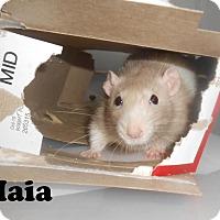 Adopt A Pet :: MAIA, TIA, MIKO, SAPPHO - Philadelphia, PA