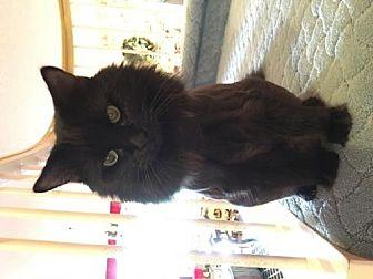 Domestic Longhair Cat for adoption in Plantation, Florida - Bojangles (LittleBit)