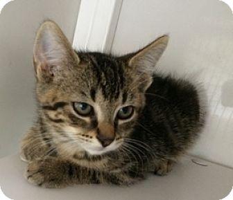 Manx Kitten for adoption in White Cloud, Michigan - Luna