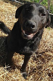 Labrador Retriever Mix Dog for adoption in E. Greenwhich, Rhode Island - Braum