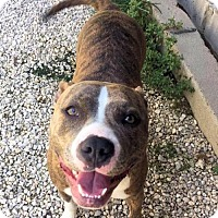 Pit Bull Terrier Mix Dog for adoption in Manchester, Missouri - Angelica