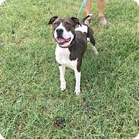 Adopt A Pet :: Champ - sweet boy - New Hartford, NY