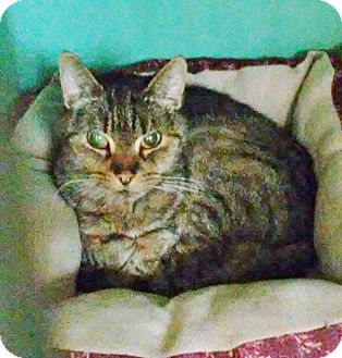 Domestic Shorthair Cat for adoption in Franklin, New Hampshire - Reilly