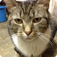 Adopt A Pet :: Momo the Lap Kitty - Salem, NH