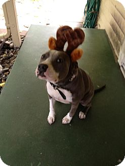 American Pit Bull Terrier/American Staffordshire Terrier Mix Dog for adoption in Temecula, California - Bella