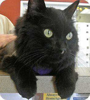Domestic Longhair Cat for adoption in white settlment, Texas - Ozzy