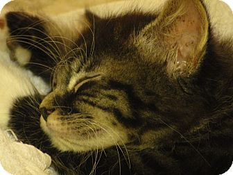 Maine Coon Kitten for adoption in Southington, Connecticut - Sassy