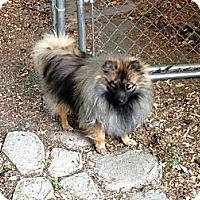 Adopt A Pet :: NIKKO - Hesperus, CO