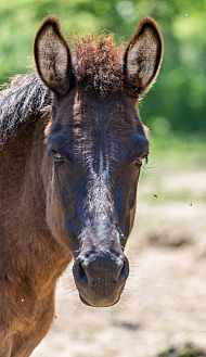 Donkey/Mule/Burro/Hinny Mix for adoption in Malvern, Iowa - Nova