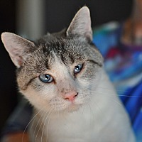 American Shorthair Cat for adoption in Tanner, Alabama - Toby