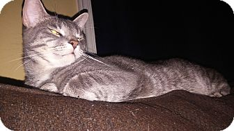 Domestic Shorthair Cat for adoption in Trevose, Pennsylvania - Rafiki