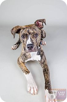 Boxer Mix Dog for adoption in Livonia, Michigan - Noodle - CP (HPR)