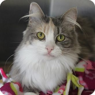 Domestic Longhair Cat for adoption in Naperville, Illinois - Allie