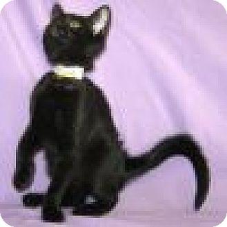 Domestic Shorthair Cat for adoption in Powell, Ohio - Simone