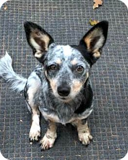 Australian Cattle Dog/Dachshund Mix Dog for adoption in McKinney, Texas - Hannah