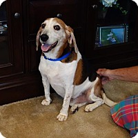 Beagle Dog for adoption in Mansfield, Texas - Tex