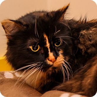 Domestic Longhair Cat for adoption in Brimfield, Massachusetts - Maude