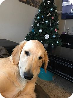 Golden Retriever Puppy for adoption in Streamwood, Illinois - Comet