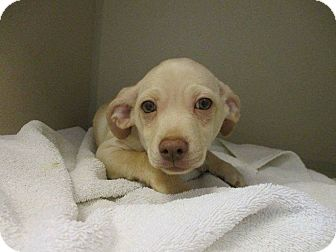 Chihuahua Mix Puppy for adoption in Charlotte, North Carolina - Rolo