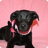 Adopt A Pet :: Diamond - Trenton, NJ
