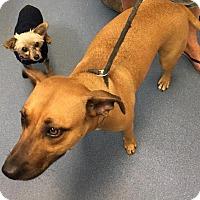 Adopt A Pet :: Penny - Jupiter, FL
