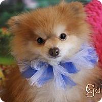 Adopt A Pet :: Gator - Benton, LA