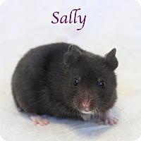 Hamster for adoption in Bradenton, Florida - Sally