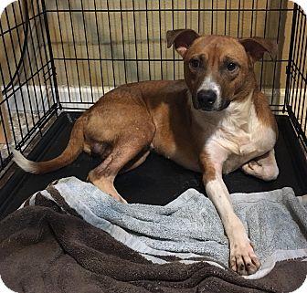 Labrador Retriever Mix Dog for adoption in Fort Collins, Colorado - Chance