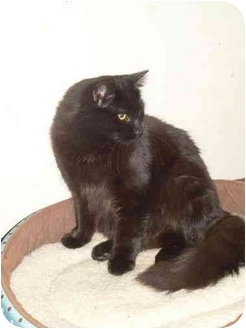Maine Coon Cat for adoption in Syracuse, New York - Secretariat