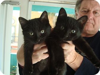 Domestic Shorthair Kitten for adoption in Santa Monica, California - collette
